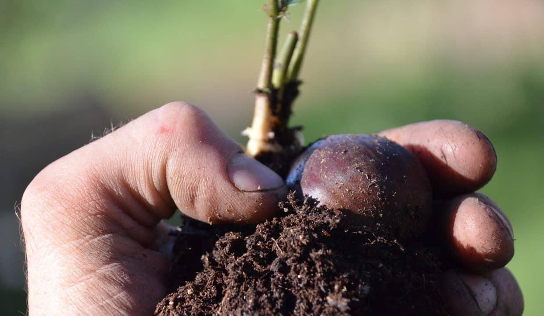 chestnut-seedling-3384304_1920